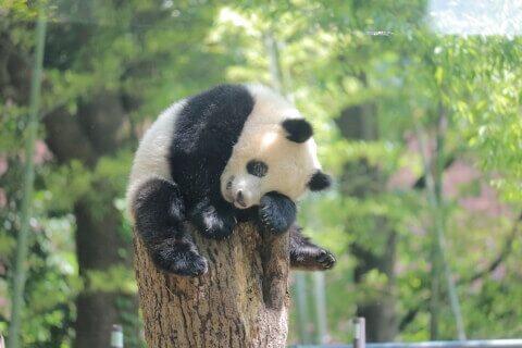 上野動物園 シャンシャン