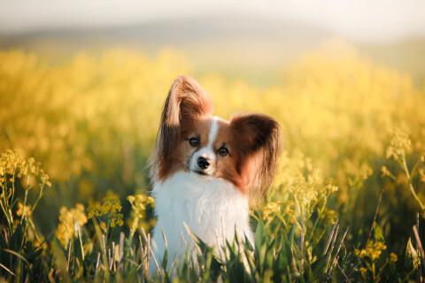 パピヨン 飼育 性格 価格 寿命 子犬