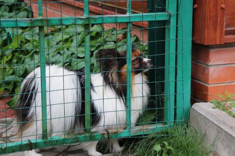 パピヨン 飼育 性格 価格 寿命 子犬  病気 犬種
