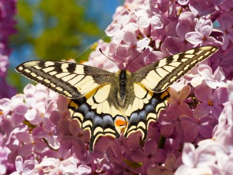 papillon__7