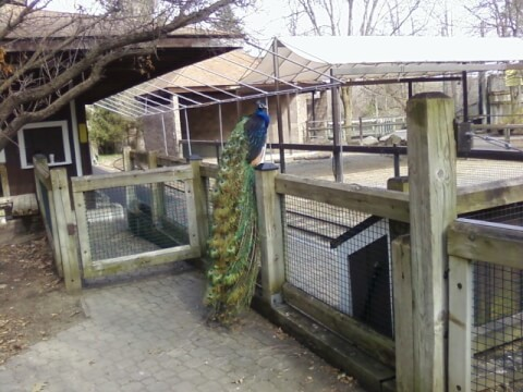 peacock_in_house
