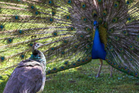 peacock_female