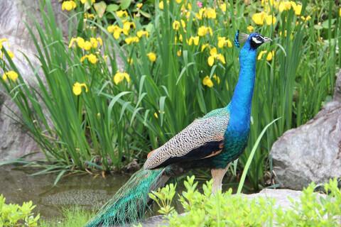 peacock_fkower