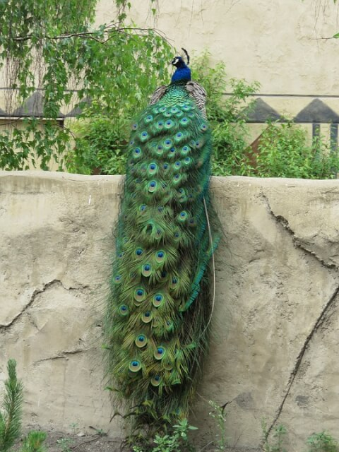 peacock_tail
