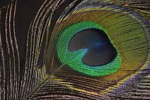 peacock_wing