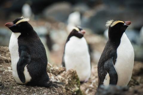 3羽のシュレーターペンギン