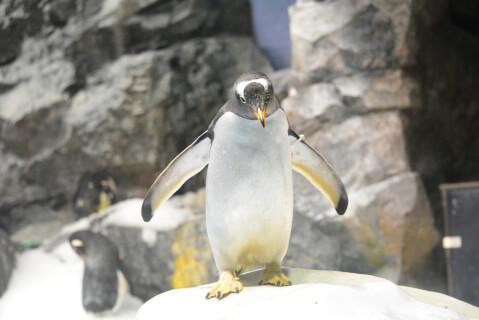 フリッパーを広げるジェンツーペンギン