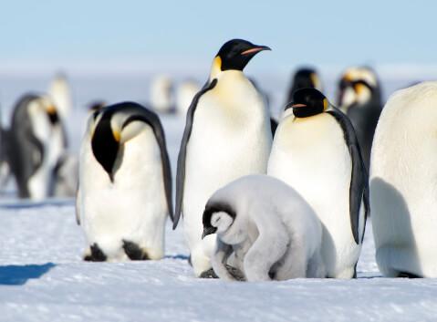 コウテイペンギンの親とヒナ
