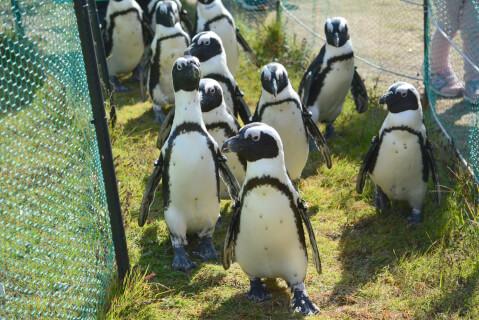 芝生の上を歩くケープペンギンたち