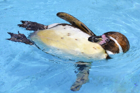 腹ばいになって羽繕いするフンボルトペンギン