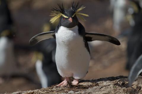 1羽のキタイワトビペンギン
