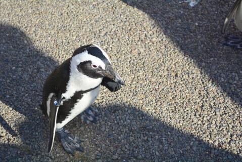 砂利の上を歩くケープペンギン