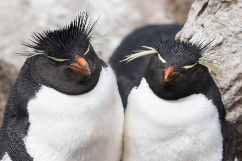 2羽のミナミイワトビペンギン