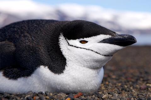 ヒゲペンギン顔アップ