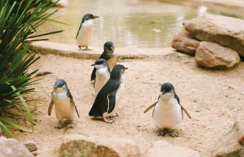 水辺にいるコガタペンギン