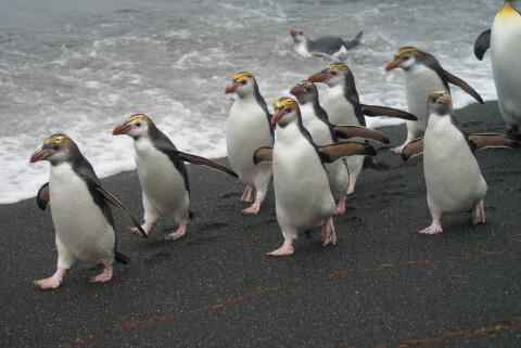 海岸にいるロイヤルペンギンの群れ