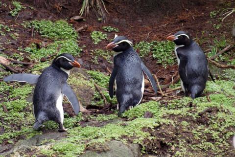 地面を歩く3羽のスネアーズペンギン
