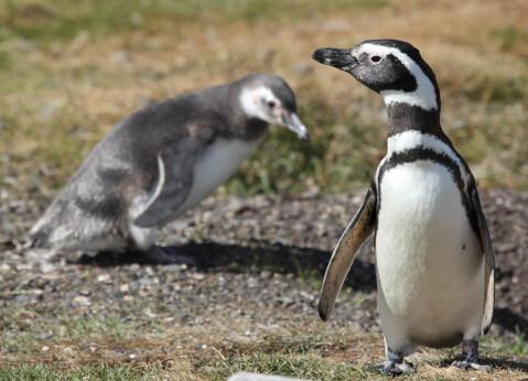マゼランペンギンとヒナ
