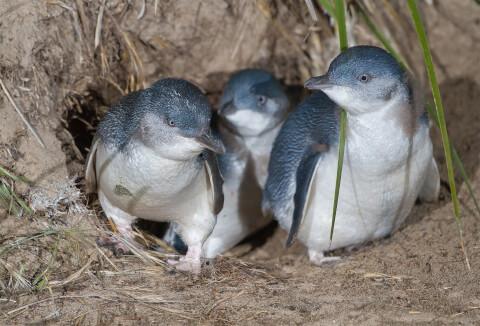 巣穴から出てくる3羽のコガタペンギン