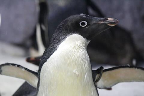元記事より アデリーペンギンのバストアップ