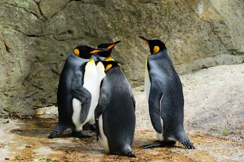 元記事より 4羽のキングペンギン