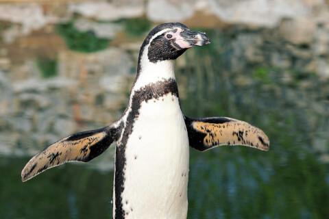 元記事より フンボルトペンギンの腰から上