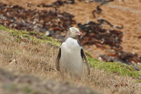 元記事より 草むらにいる1羽のキガシラペンギン