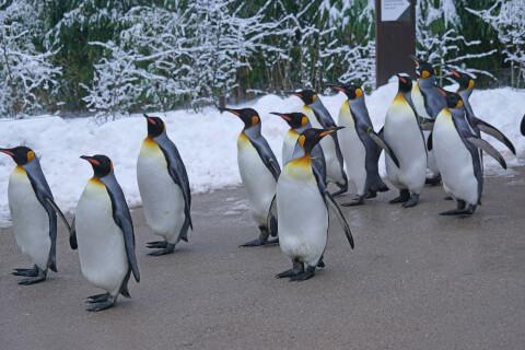 元記事より 散歩するキングペンギン