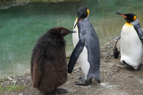 元記事より 2羽のキングペンギンと子ども