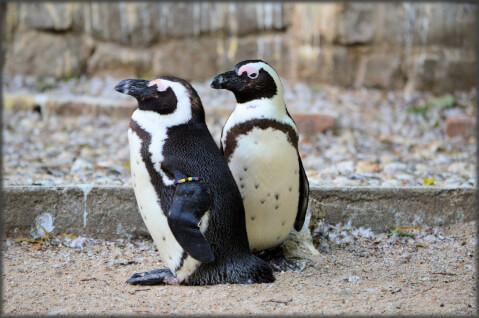 ペンギン解説