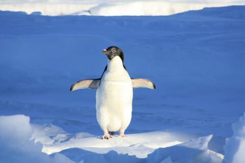 ペンギンは鳥