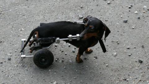 dog_wheelchair