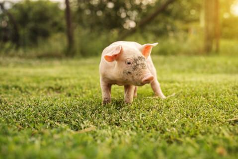 豚 ブタ ミニブタ ペット 飼育 性格 散歩 大きさ 体重