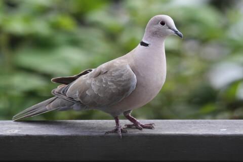 ハト 鳩 飼育 ペット エサ 病気 フン  種類