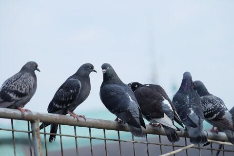 ハト 鳩 飼育 ペット エサ 病気 フン