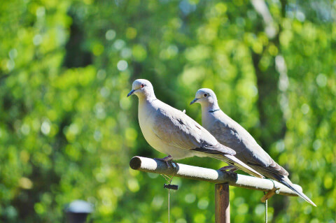 pigeoninjapan