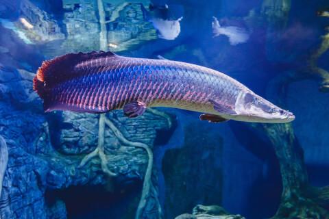 ピラルク 飼育 販売  値段  水族館 寿命 水槽