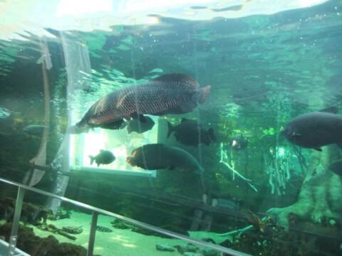 ピラルク 水族館
