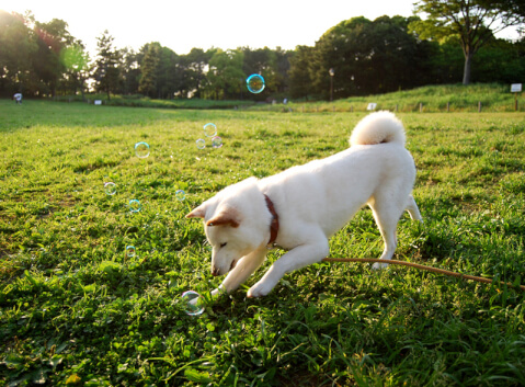 playing_dog_soap_bubble