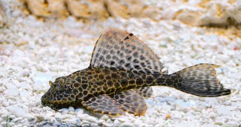 プレコ 魚 種類  飼い方 小型 餌 寿命 水槽