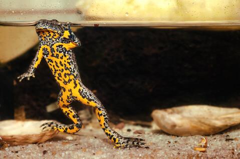 ヤドクガエルの毒、生態、特徴、飼い方、無毒、色