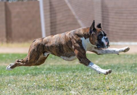 警察犬 仕事 訓練 犬種 種類 ボクサー かわいい