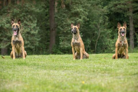 警察犬 仕事 訓練 犬種 種類 シェパード かわいい