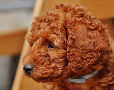 poodle-color_1