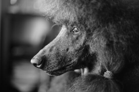 タイニープードル 体重 大きさ 寿命 カット 成犬 値段