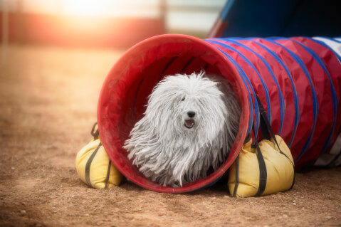 プーリー 手入れ  犬 カット 値段 価格 体重 寿命