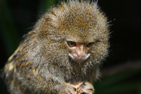 ピグミーマーモセット 生態 販売 値段 動物園 性格
