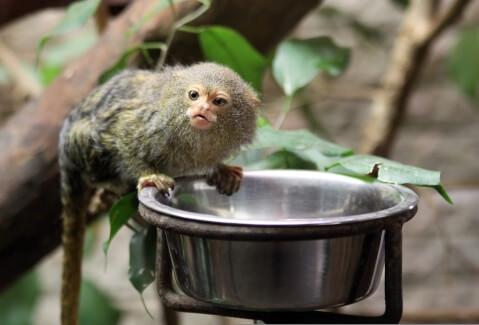 ピグミーマーモセット 生態 販売 値段 動物園 餌