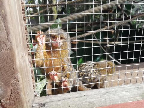 ピグミーマーモセット 生態 販売 値段 動物園 ペット