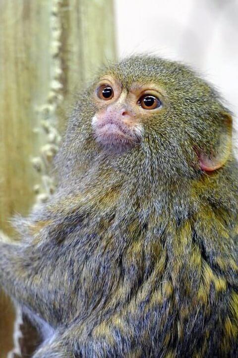 ピグミーマーモセット 生態 販売 値段 動物園 知能